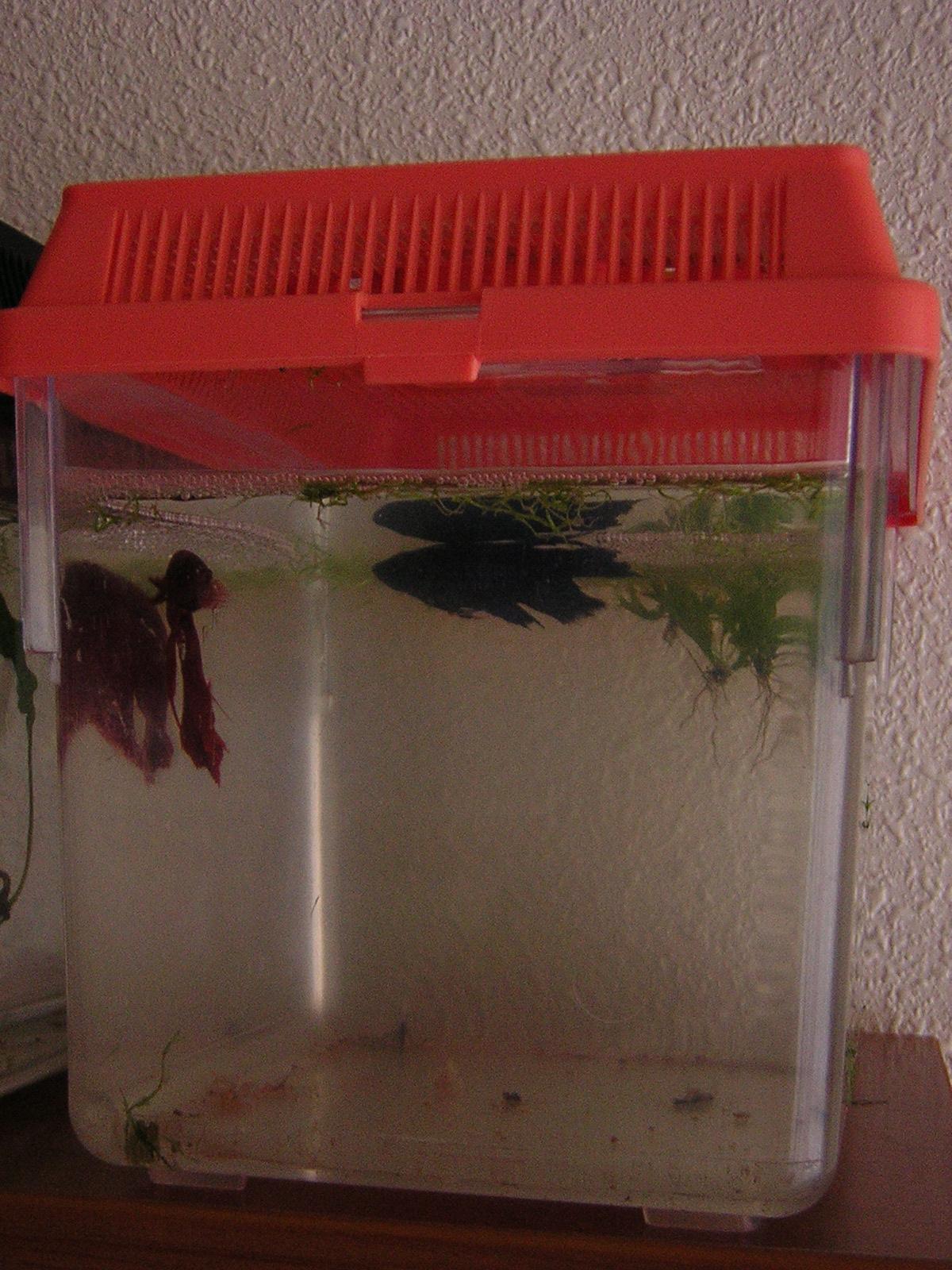 Pareja de Betta Splendens en fase de compartir acuario