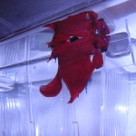 Betta Splendens Cola Roja y Velo en posición de exhibición