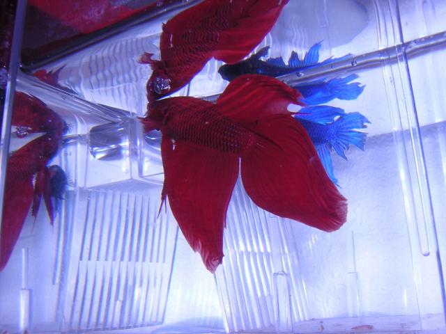 Betta Splendens Cola Roja y Velo en posición de enfrentamiento