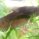 Hembra Betta Splendens