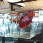 Macho Betta Splendens Blanco y Rojo