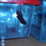 Betta Splendens en mini acuario