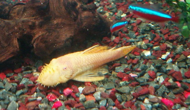 Ancistrus Macho Albino