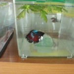Betta Splendens Cola Velo y Corona