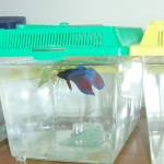 Betta Splendens en mini acuario