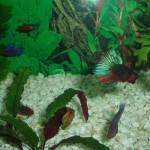 Hembras Betta Splendens en acuario comunitario