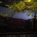Alevines Betta Splendens en mini acuario