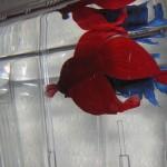 Machos en acuarios enfrentados