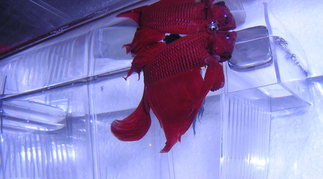 Betta Splendens Rojo Cola Velo